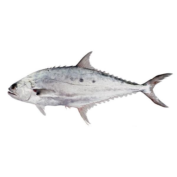 ماهی سلیمانی (سارم)