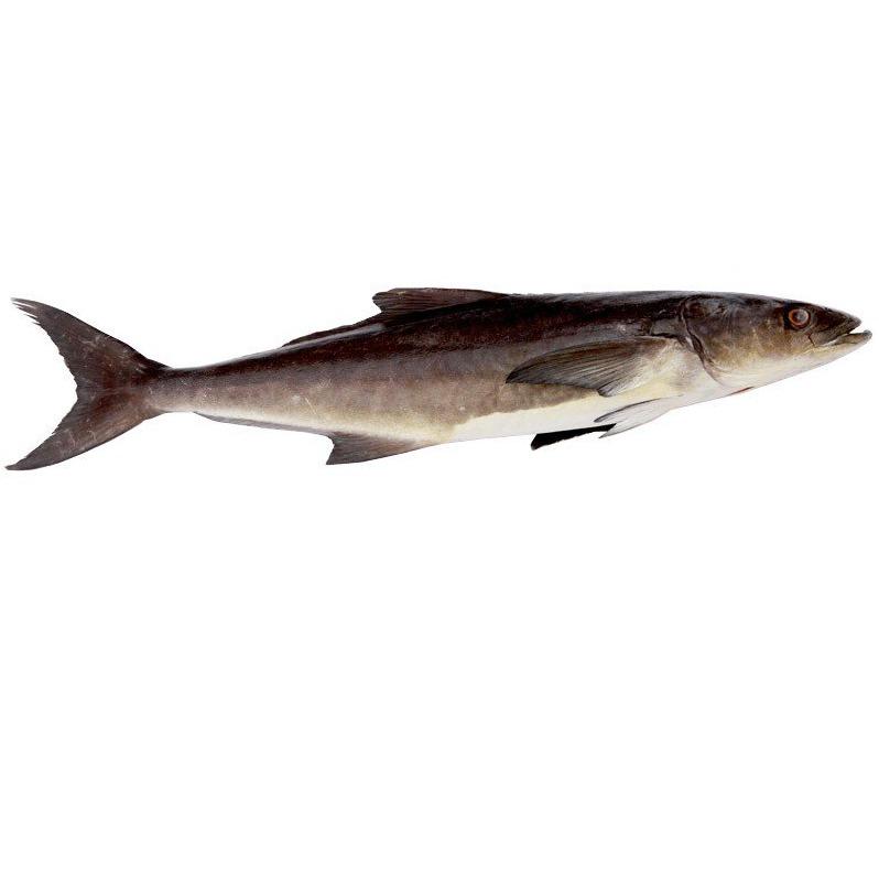 ماهی سکله